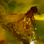 Inclusions at the exhibition - hoverfly (Diptera: Syrphidae)
