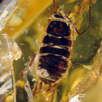 Inclusions at the exhibition - cockroach (Blattodea)