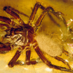 Inclusions at the exhibition - spider (Araneae)